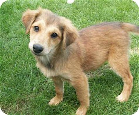 Huskies Turkis levi adopted puppy liberty center oh husky anatolian shepherd mix