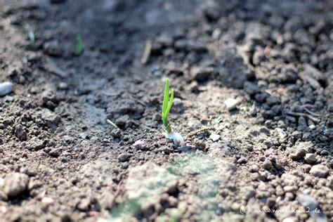 zwiebeln wann ernten zwiebel einpflanzen knoblauch und zwiebel f rs n chste