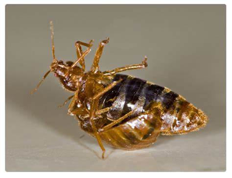 bed bugs control bed bugs control in sydney pest control company sydney