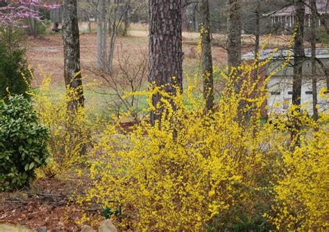 time for red buds and forsythia in hoover alabama