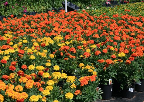 marigold colors mari mums are fall flowering marigolds mississippi state