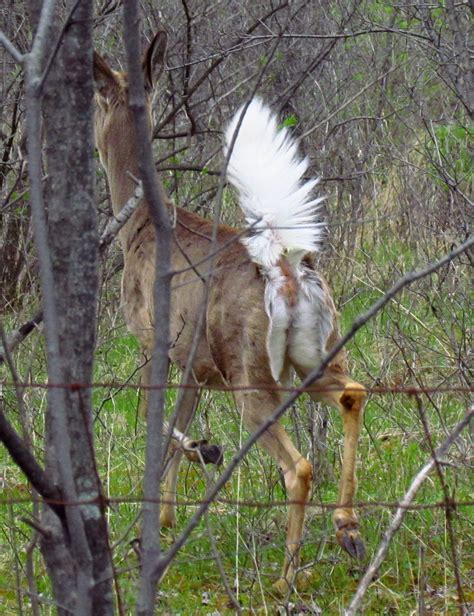 what does buck up file white tailed deer up jpg