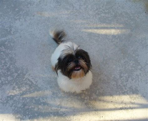 shih tzu character shih tzu dogs 10 handpicked ideas to discover in animals and pets allergies sheds