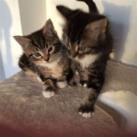 cats breeders maine coon x kittens for sale waterlooville hshire
