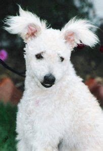 pumi puppies for sale photos 25 best ideas about pumi on hungarian dogs and breeds