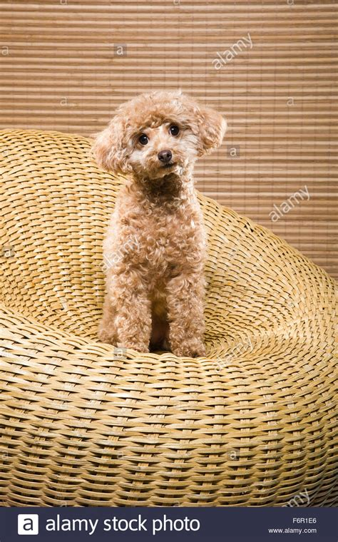poodle colors apricot apricot colored miniature poodle sitting upright in