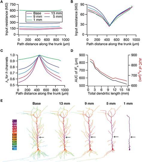 frontiers functional crosstalk between dendritic frontiers dendritic atrophy constricts functional maps