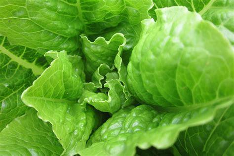 imagenes lechugas verdes tipos de lechugas y hojas verdes para ensaladas de verano