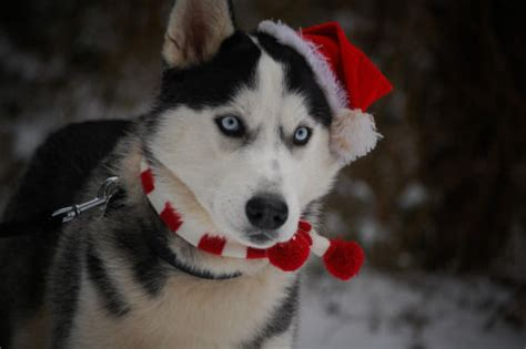 christmas husky dog pictures   images