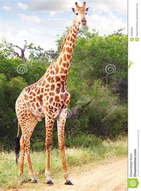 imagenes reales de jirafas jirafa foto de archivo imagen 19383840