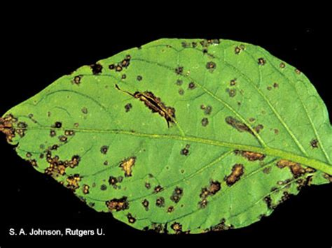 Diseases Of Pepper Plants - bacterial leaf spot of pepper vegetables university of maryland extension