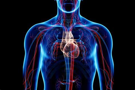 circulatory system pulmonary  systemic circuits