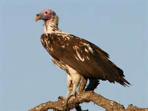 lappet faced vulture birdforum opus