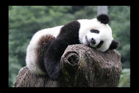 quotes  giant pandas quotesgram