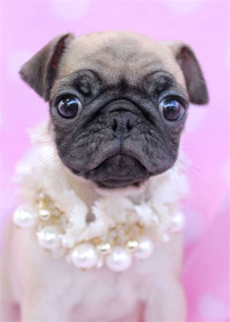 teacup pugs for sale 25 best ideas about pug puppies on pug puppies pugs and baby dogs