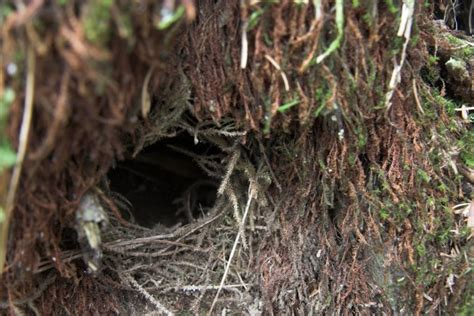 winter wren nest troglodytes troglodytes