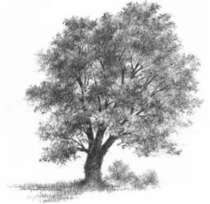 pencil tree birches drawing nature joshua nava arts