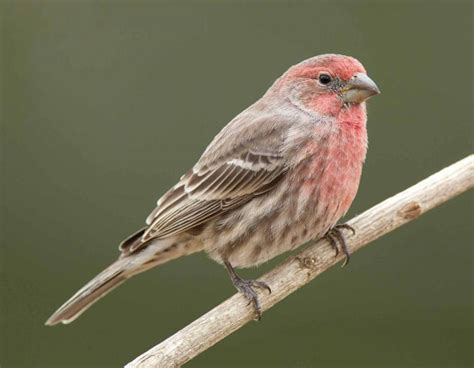 male house finch house finch mdc discover nature