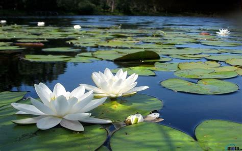 the white of pond bank books image gallery lotus ponds