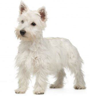 Does A West Highland Terrier Shed by Small Non Shedding Dogs 3 Breeds N Through Z