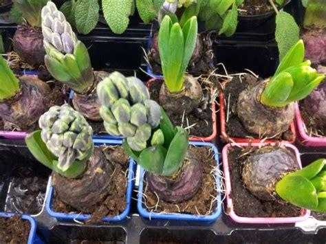 giacinti in vaso giacinto coltivazione