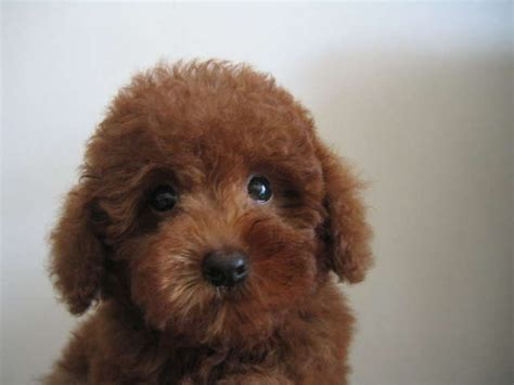 poodle puppies for adoption dogs poodle for sale adoption in singapore adpostcom breeds picture