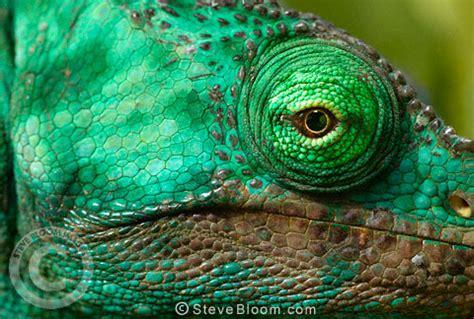 Chameleon Headl of a parson s chameleon perinet madagascar
