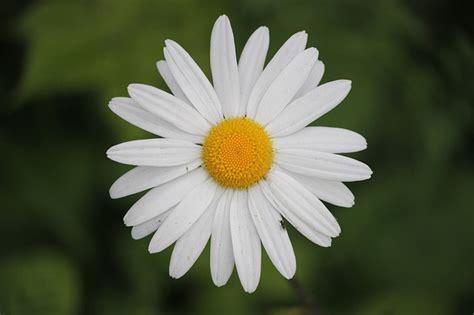 immagini fiori foto gratis margherita fiori bloom ramo immagine