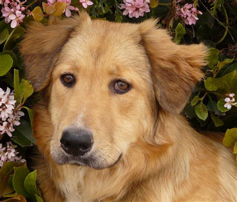 german shepherd mix golden retriever golden retriever german shepherd mix available for adoption breeds picture