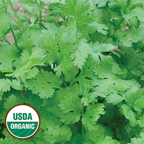 iris herbal products specializing in fresh certified organic ethically wildcrafted organic cilantro seeds non gmo planet