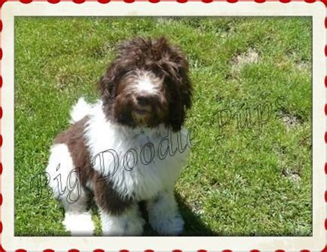 mastidoodle puppies for sale big doodle pups southern illinois things to look into