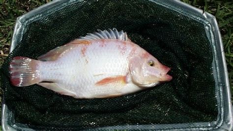 How To Raise Tilapia In Your Backyard by 1000 Images About Fish Tilapia On Backyards