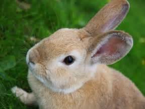 rabbit bunny also volkswagen rabbit