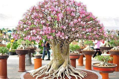 rosa  deserto  planta gordinha   um vicio vejacom