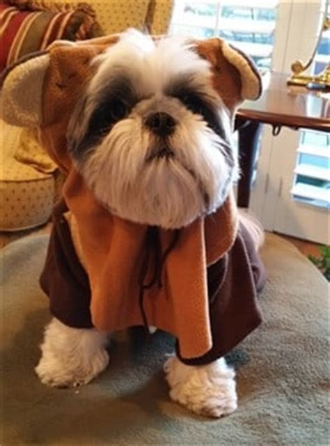 ewok costume for shih tzu shih tzu costume www pixshark images galleries with a bite