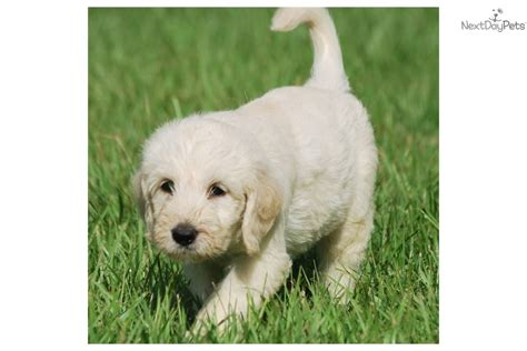 Non Shedding Labs by Medium Non Shedding Dogs Labradoodle Breeds Picture