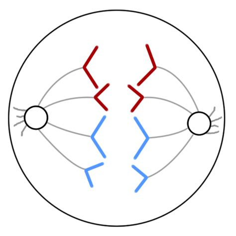 diagram of anaphase gallery anaphase of mitosis diagram