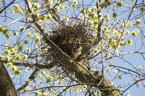 sharp shinned hawks nesting on cus ridley college