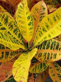 Colourful Foliage Plants - colorful tropical foliage plants croton plants and caladium plants grows on you