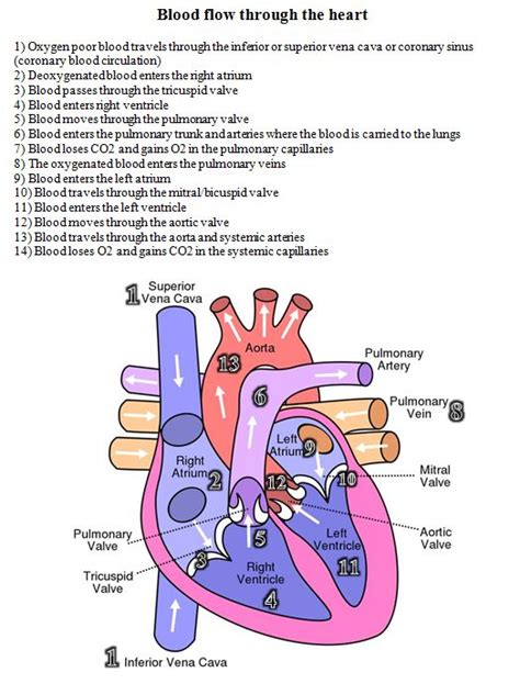 blood flow through the diagram step by step 25 best ideas about diagram on