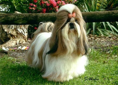 shih tzu and allergy sufferers hypo allergenic dogs