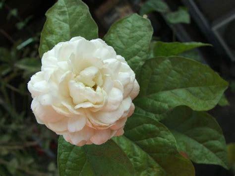 imagenes de flores jasmin im 225 genes de flores y plantas jazmines