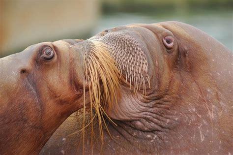 Walrussen geven elkaar een kusje bij Dolfinarium in ...
