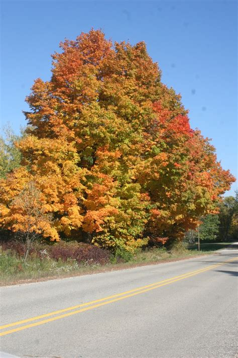 fall maple tree colors on our road in mid michigan my of country