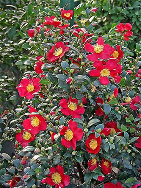 buy yuletide camellia sasanqua 3 gallon shrubs deer resistant buy plants online