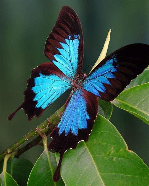 imagenes de mariposas morfo azul m 225 s de 25 ideas incre 237 bles sobre mariposa morfo azul en