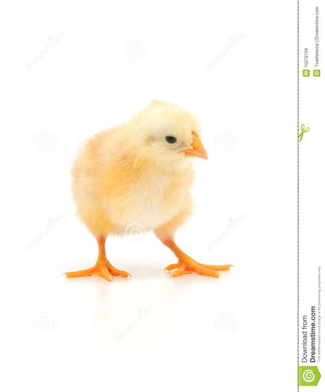 Small Chicken by Small Chicken Small Chicken Royalty Free Stock Image