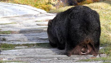 imagenes de animal wombat baby wombat inside mother s pouch youtube