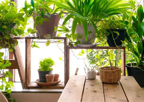good house plant 10 good luck plants for your home local singapore news