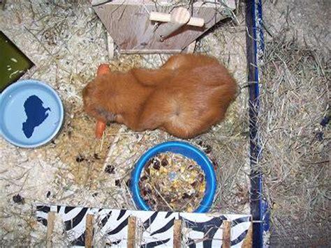 ab wann sieht eine schwangerschaft woran erkennt das sie tr 228 chtig ist meerschweinchen